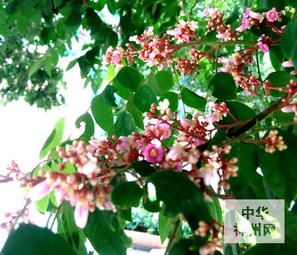 南宁两百年老杨桃树开花